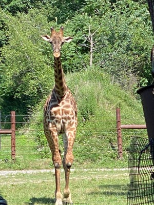 Giraffes are among of the popular residents at the Franklin Park Zoo.