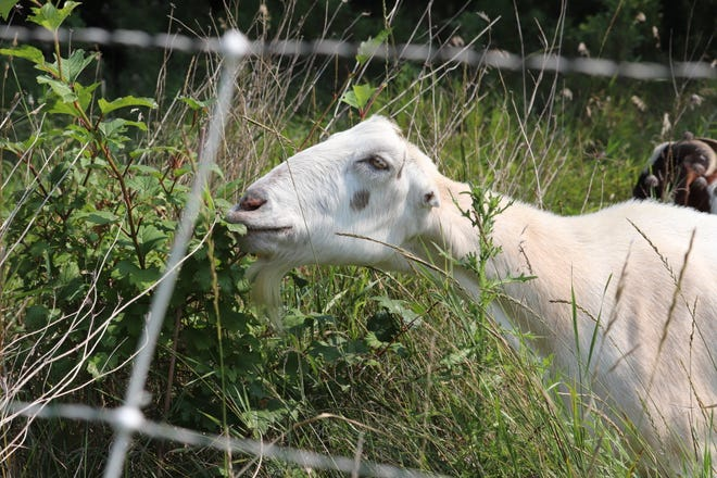 One goat is already hard at work, grazing on the Permaculture site.