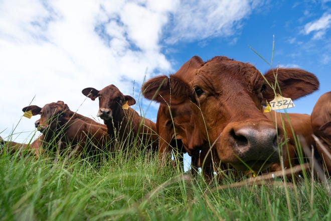 Cattle grazing at the Texas A&M University O. D. Butler Jr. Animal Science Complex.
