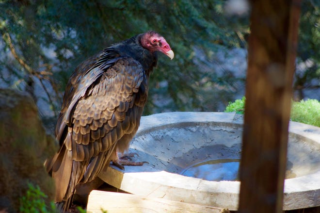 Buzz the turkey vulture at the Western Carolina Nature Center.