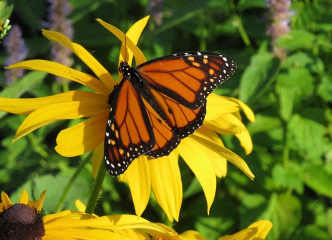 The monarch butterfly with its brilliant orange-gold wings trimmed in black continues to suffer a precipitous decline in population due to scarcity of milkweed, its main pollinator host, and  because of land development. This beauty hovers on a sunflower in the Burlington County park system, where a new milkweed and flower garden has been planted.