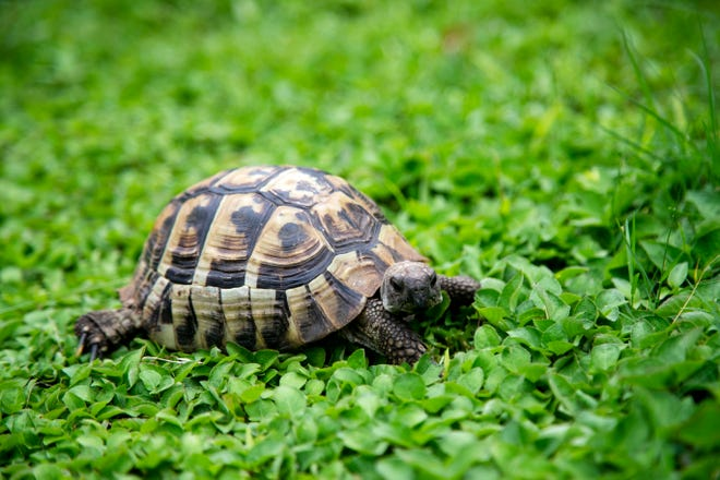 Estero is a Russian tortoise at Adam's Animal Encounters. Someone found her while touring Mound House on Estero Island.
