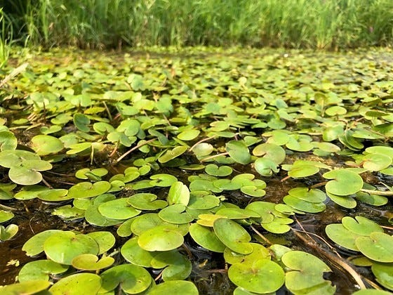 European frogbit, known for its petite lily pad-like leaves and elusive white flower, was recently discovered for the first time in Wisconsin in Oconto County