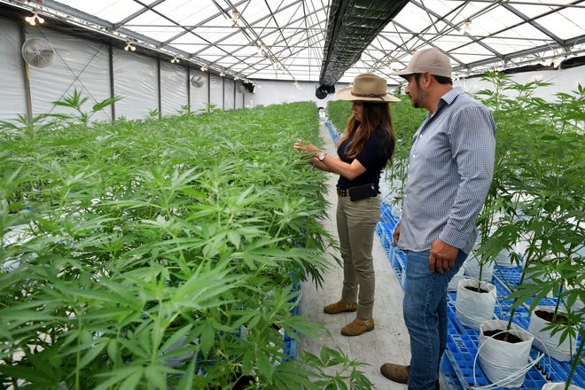 Mario Chavez and Vanessa Ramirez inspect a row of hemp plants at a greenhouse in the Oxnard area on Tuesday, August 10, 2021.