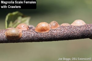 Mature scale insect females are visible with crawlers on the branch of a magnolia tree. This part of the scale life cycle takes place in early August as crawlers are mobile and looking to settle in and begin feeding for winter.