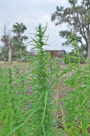 Hemp plants growing this summer near Joes, Colorado. A newly approved hemp management plan could pave the way for more acreage in Colorado by providing crop insurance, grant assistance and research.