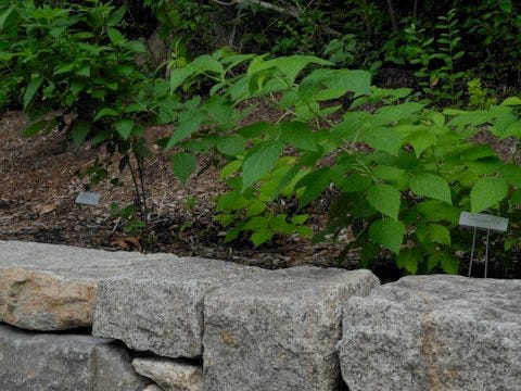 """Raspberries and bee balm plantings share space in the sustainable perennial """"garden"""" at Sturgis Library."""