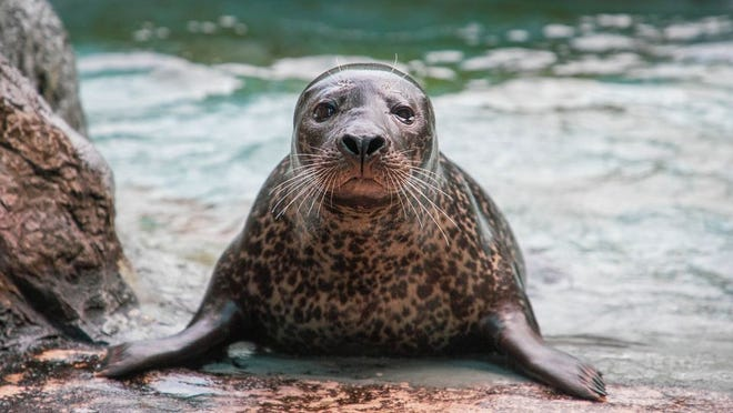 Paco, a harbor seal who has lived at the North Carolina Zoo for 13 years, died this week according to zoo officials.