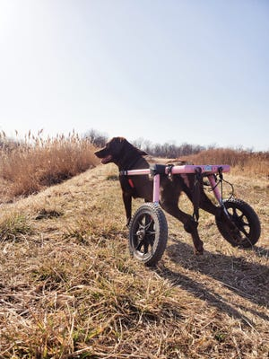 Reese, an eight-year-old chocolate labrador retriever, was partially paralyzed in a car accident that occurred last winter. Her owner, former Monroe County resident Austin Smith, has gone to extraordinary lengths to ensure a good quality of life for his beloved canine companion.