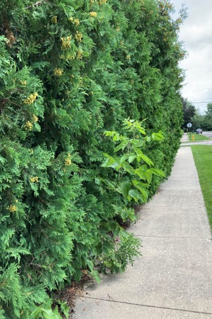 A line of evergreens encroaches on the sidewalk at the corner of Caroline and Lake streets in Neenah.