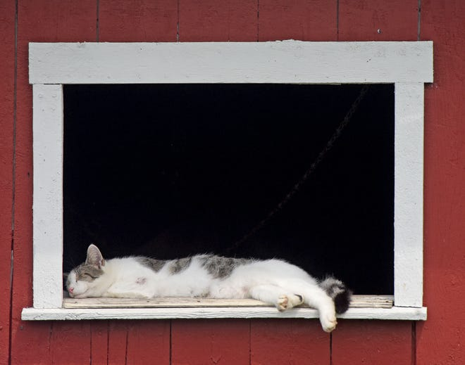 Wednesday's afternoon heat and humidity made ideal conditions for a catnap for this feline in the stables at the Crawford County Fairgrounds. Showers and thunderstorms are likely today with the temperature hitting a high of near 84 degrees, according to the National Weather Service. The chance of precipitation is 80%, with new rainfall amounts between a quarter- and half-inch. The low tonight is around 60 degrees. Expect sunny skies and a high of 77 on Saturday.