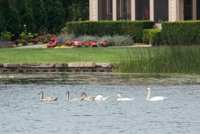 A family of mute swans swim past a residence on West Crooked Lake in Genoa Township Wednesday, Aug. 11, 2021.