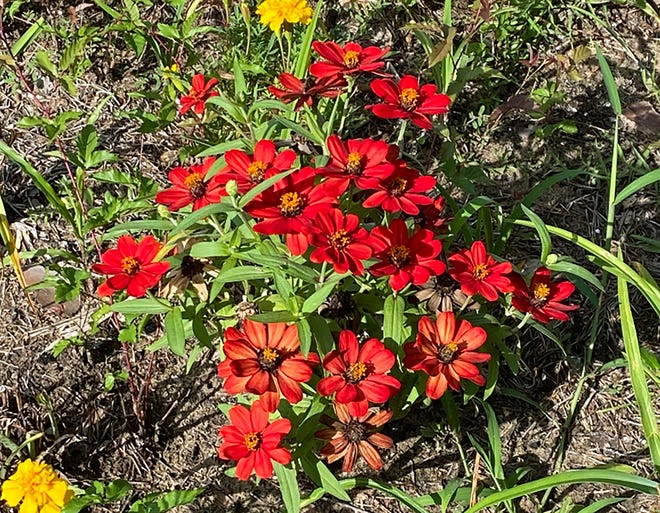 A bed of petite zinnia blooms gives a sunny welcome.