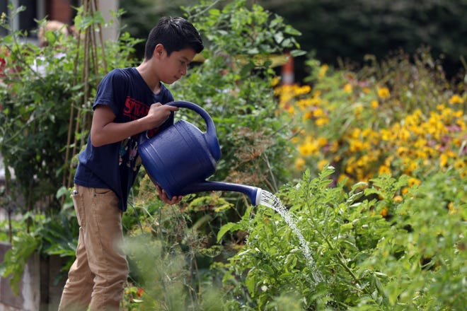 McCord Middle School student Jose Bautista, 12, waters various plants and vegetables Aug. 11 at the Granby School Garden behind Worthington Schools' Granby Elementary School in Columbus.