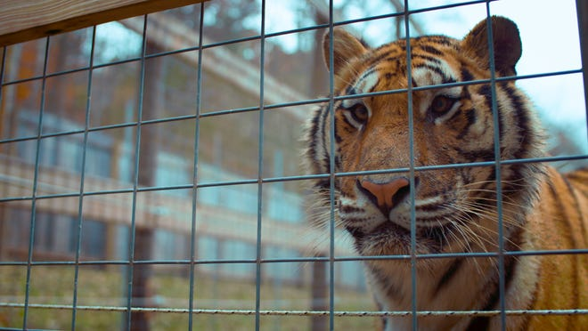"""""""The Conservation Game"""" focuses on where big cats like lions, leopards and tigers go when they're no longer featured on TV, including cats used by Jack Hanna in TV appearances. It will debut in Columbus on Sept. 10 at Gateway Film Center."""