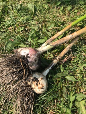 Garlic is harvested in mid- to late August or when the foliage starts to turn yellow.