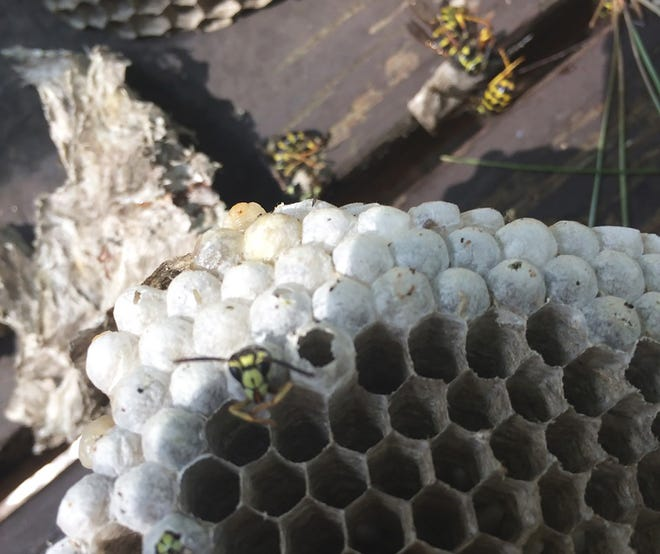 A yellow jacket emerges from the remains of the nest on the Gariepy property in Phillipston.