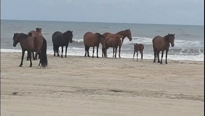 On the Eicher family's trip to North Carolina, they had the opportunity to see the wild horses on the beach.