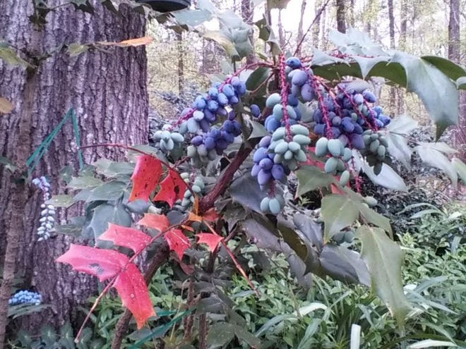 Leatherleaf mahonia with immature berries adds color and interest in the spring.