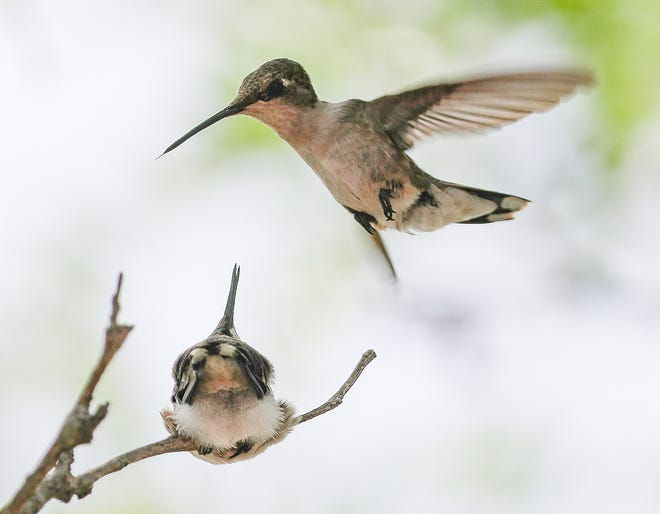 Female ruby-throated hummingbird hovers over begging juvenile.