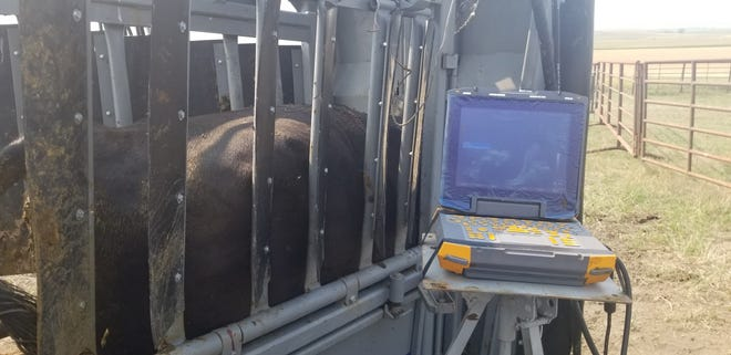 An ultrasound is one way of checking cows' pregnancy early.