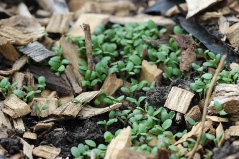 Sprouts of red clover peak through the soil.