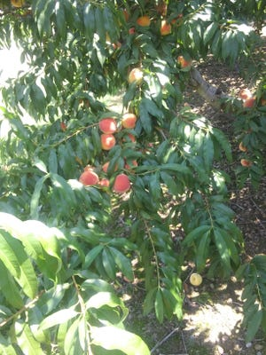 A peach tree filled with fruit.