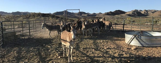 A pack of burros in an unknown corral.