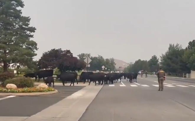 Thirty five cows escaped from their pasture, located near Eastwood Drive and Mayberry Drive.