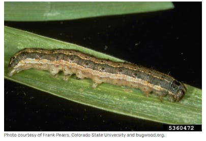 Fall armyworms can quickly devastate lawns. Each female armyworm moth can lay 1,000 eggs in clusters up to 400.