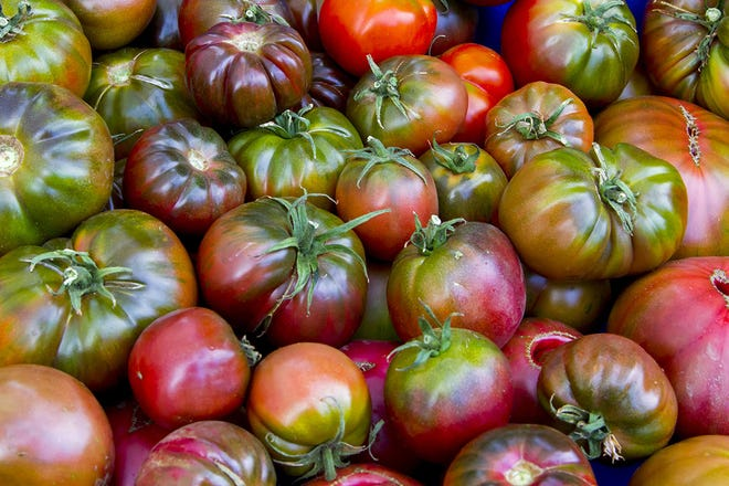 Tomatoes ripen best when air temperatures are between 68 degrees and 77 degrees.