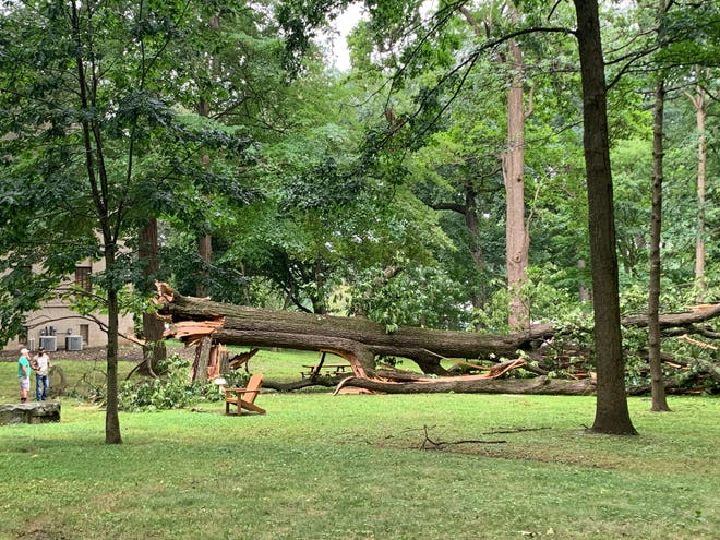 A black oak tree estimated to be at least 200 years old was hit by lightning and fell early Monday morning.