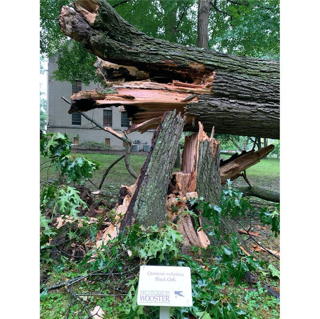 The bottom of the black oak tree that fell was destroyed.