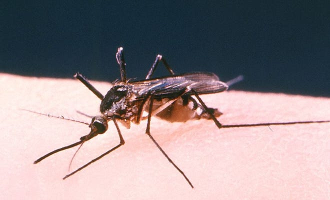 This is an Aedes triseriatus mosquito, which had lighted upon the arm of its chosen host from which it would extract its blood meal.  It can carry the West Nile Virus. Photo credit: CDC/ Robert S. Craig/ Public domain/Wikimedia Commons
