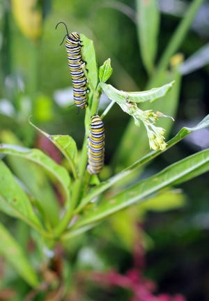 """Monarch caterpillars are indeed """"very hungry,"""" and the only thing they eat is milkweed."""