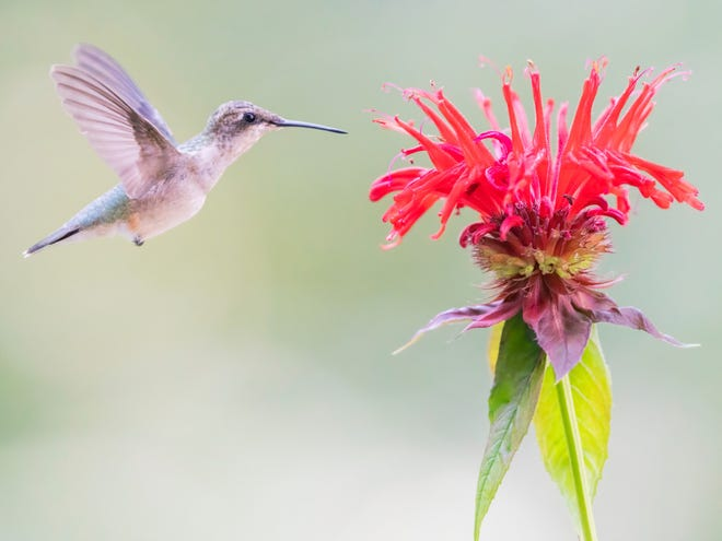 With a few simple steps, you can make your yard a haven for hummingbirds.