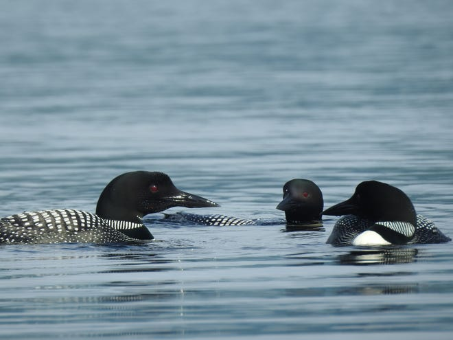 """In late summer, common loons begin to """"raft up"""" or congregate in groups in preparation for migration after being pretty solitary earlier in the season."""