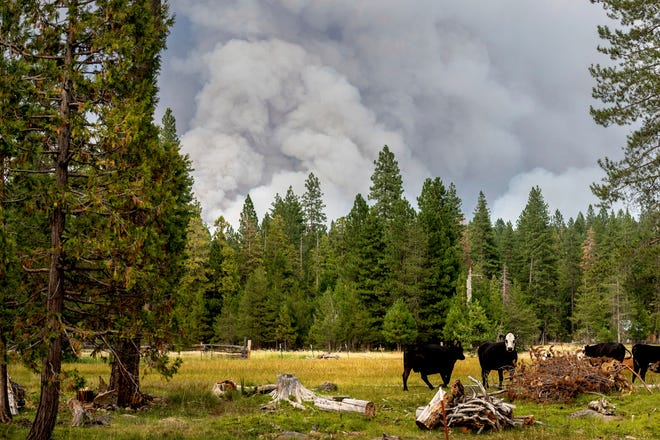In this Monday, July 26, 2021, file photo, cows graze as smoke rises from the Dixie Fire burning in Lassen National Forest, near Jonesville, Calif. A historic drought and recent heat waves tied to climate change have made wildfires harder to fight in the American West. On Friday, Aug. 13, 2021, U.S. weather officials said Earth in July was the hottest month ever recorded. (AP Photo/Noah Berger, File)