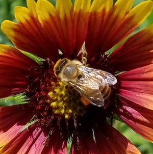 A honey bee spends time on a Florida native blanket flower.