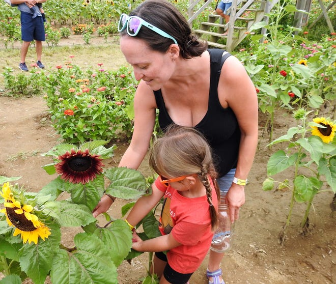 Rebecca Kosmac and her daughter Emelyn, 5, of Akron snip a purple sunflower to take home from the Coshocton Sunflower Festival. The fields will be open this week for people to visit with a special day for people to bring their dogs on Sunday.