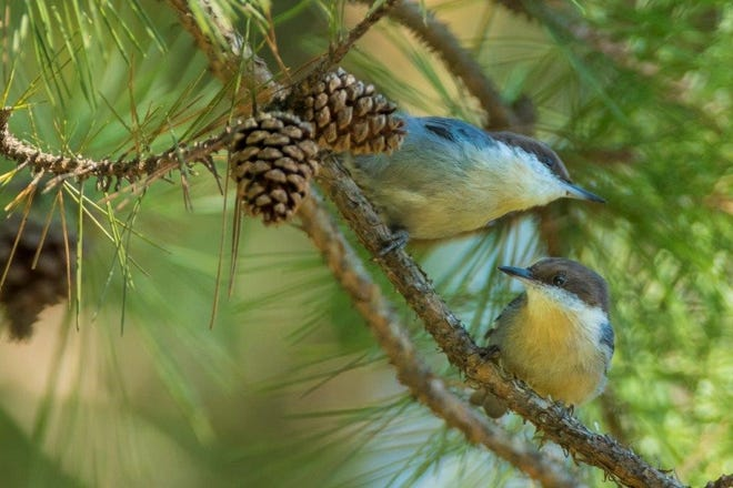 Missouri Department of Conservation will begin phase two of brown-headed nuthatch reintroduction efforts in the Ozarks this summer.