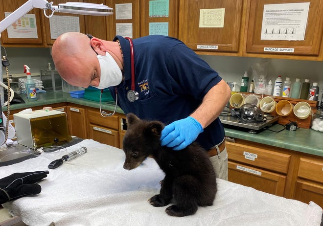 Jb Minter, director of animal health at the North Carolina Zoo, examines a black bear cub. The zoo is set to begin vaccinating its inhabitants against COVID-19.