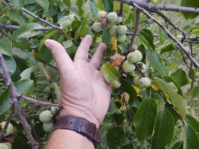 Be wary about popping one of these persimmon fruits in your mouth, no matter what your country cousins tell you.
