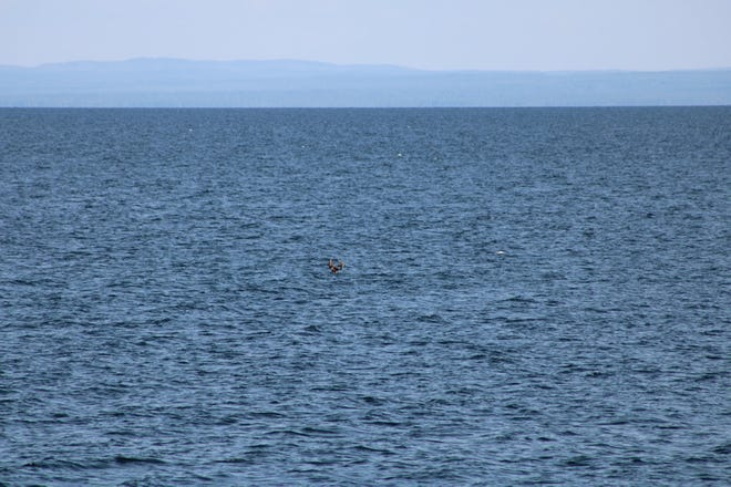 A buck swims in Lake Superior from Madeline Island to Michigan Island in the Apostle Islands on August 13, 2021.