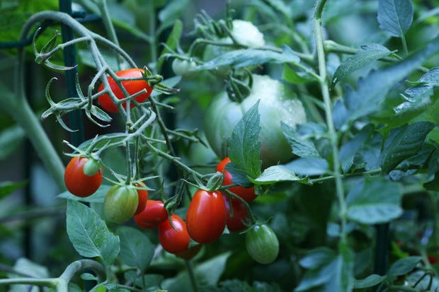 Stress issues on tomato plants include intense heat and drought conditions, which can trigger all sorts of anomalies such asblossom drop and curled, twisted and discolored leaves as well as less fruit production overall.