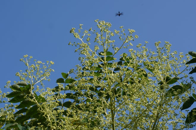 Aralia Spinosa - Devil's Walking Stick foliage and flower buds.