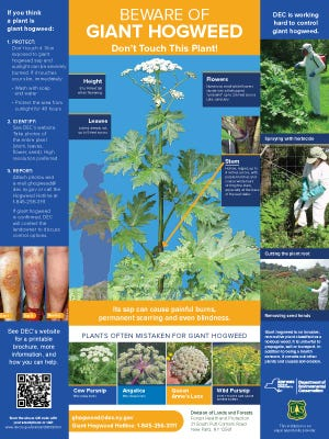 Giant hogweed information poster