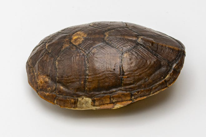 A turtle shell, an Out of the Attic item, is shown at the Des Moines County Heritage Center, 504 N. Fourth St., in Burlington.