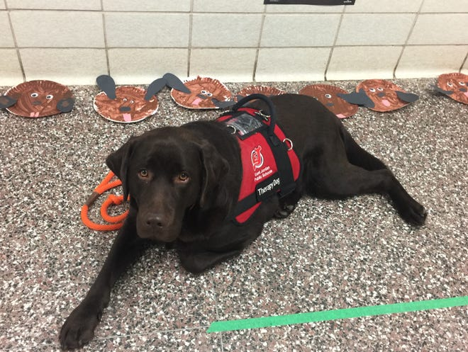 Murrey, a two-year-old chocolate Labrador Retriever, who is a professionally trained and certified therapy dog.