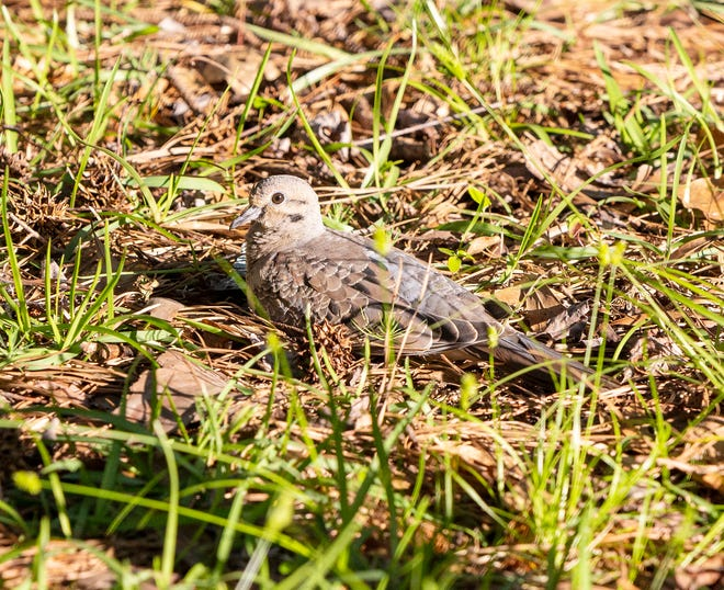 The mourning dove (Zenaida macroura) is one of the most popular game birds in the United States, with hunters across the country harvesting tens of millions of them each year.
